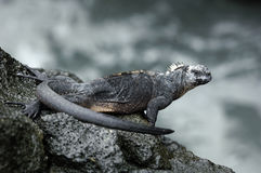 Galapagos Iguana. One of the famous endemic iguanas from the galapagos islands royalty free stock image