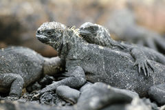 Galapagos Iguana. One of the famous endemic iguanas from the galapagos islands stock images