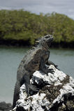 Galapagos Iguana. One of the famous endemic iguanas from the galapagos islands royalty free stock photos