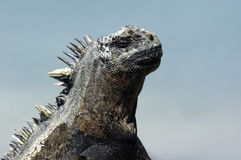 Galapagos Iguana Royalty Free Stock Photo
