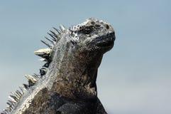 Galapagos Iguana Royalty Free Stock Photo