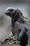 Galapagos Iguana Stock Photo