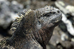 Galapagos Iguana Royalty Free Stock Photography