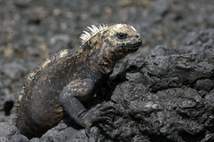 Galapagos Iguana. One of the famous endemic iguanas from the galapagos islands royalty free stock photo