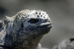 Galapagos Iguana Royalty Free Stock Photos