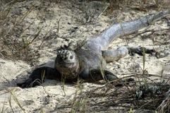 galapagos iguana Zdjęcia Royalty Free