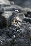 Galapagos Iguana. One of the famous endemic iguanas from the galapagos islands stock photo