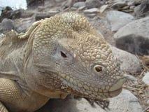 galapagos iguana Στοκ Εικόνα