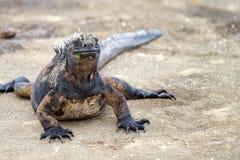 Galapagos Iguana. Iguana on Galapagos Island Lava Rocks stock photo