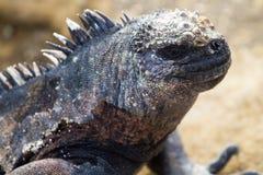 Galapagos Iguana. Iguana on Galapagos Island, face closeup royalty free stock photos