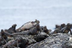 Galapagos Iguana. Iguana on lava rocks in the Galapagos Islands Royalty Free Stock Image
