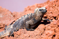 Galapagos Iguana. Iguana in the wild in the Galapagos Islands Stock Images