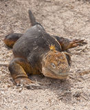 Galapagos Iguana on Beach Stock Photos