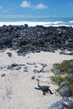 Galapagos Iguana on a beach Stock Photos