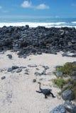 Galapagos Iguana on a beach stock photos