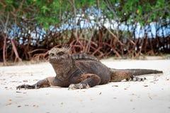 Galapagos iguana on the beach Royalty Free Stock Photo