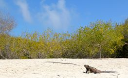 Galapagos iguana on the beach. Marine iguana on the beach in the Galapagos Royalty Free Stock Image
