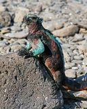 Galapagos Iguana. Colorful iguana warming up in the sun  in the Galapagos Islands Stock Image