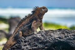 Free Galapagos Iguana Heating Itself In The Sun Resting On Rock On Tortuga Bay Beach Stock Photos - 153770583