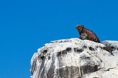 Galapagos Iguana on Perch. Galapagos Iguana overlooking the ocean on a rocky perch stock images
