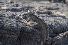 Galapagos iguana perched on grey lava rocks. Galapagos iguana with its textured wrinkly skin perched on volcanic lava rocks stock photography