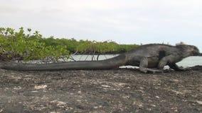Galapagos iguana on rocks and cliffs of coast on Santa Cruz Island. stock footage