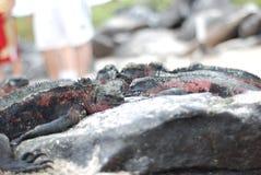 Galapagos Iguanas royalty free stock photo