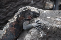 Galapagos Iguanas Royalty Free Stock Photography
