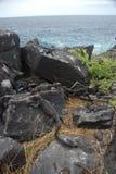 Galapagos Iguanas Stock Image