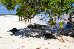 Galapagos iguanas Στοκ Εικόνα