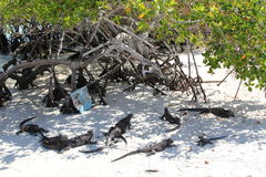 Galapagos iguanas Stock Images