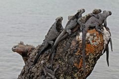 Galapagos iguanas Royalty Free Stock Images