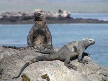 Galapagos Iguanas Sunbathing. On rock near the ocean Royalty Free Stock Photo