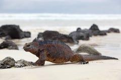 galapagos iguany żołnierz piechoty morskiej fotografia stock