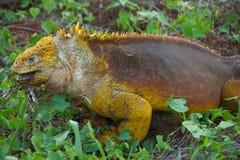 galapagos iguany wysp ziemia Obraz Stock