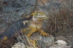 galapagos iguany wysp ziemia Fotografia Royalty Free