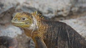 galapagos iguany wysp ziemia Zdjęcie Royalty Free