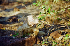 galapagos iguany ziemia Fotografia Stock