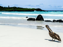 Galapagos-Insel - Nizza Strand und Pelikan lizenzfreies stockbild