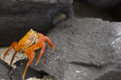 Galapagos Island Crab. Orange crab found in the magical galapagos islands Stock Photos