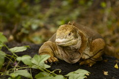 Galapagos Island land Iguana Royalty Free Stock Photography