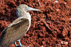 Galapagos Islands Blue Footed Booby Royalty Free Stock Photos
