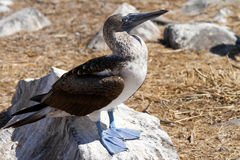 Galapagos Islands Blue Footed Booby. Blue Footed Booby in the Galapagos Islands stock images