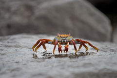 Galapagos Islands Crab. Crab on a rock in the Galapagos Islands Royalty Free Stock Photo