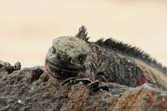 Galapagos islands iguana Royalty Free Stock Image