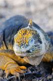 Galapagos islands iguana Royalty Free Stock Photography