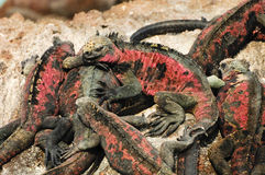 Galapagos islands iguana Royalty Free Stock Images