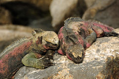 Galapagos islands iguana Royalty Free Stock Photos