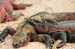 Galapagos islands iguana Stock Photo