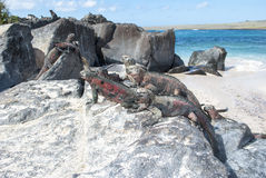 Galapagos islands marine igauna. Galapagos islands marine iguanas on rocks stock photography
